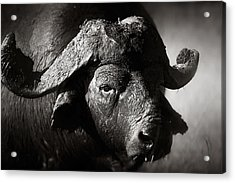 African Buffalo Bull Close-up Acrylic Print