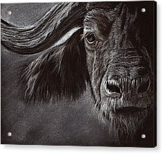 Acrylic Print featuring the drawing African Buffalo by Heidi Kriel