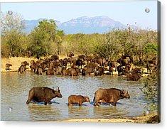 African Buffaloes Drinking Acrylic Print by Heinrich Van Den Berg