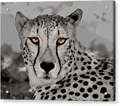 African Cheetah Acrylic Print
