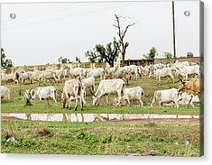 African Cows Acrylic Print
