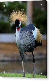 African Crowned Crane Running Acrylic Print