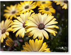 African Daisies Acrylic Print by Caitlyn  Grasso