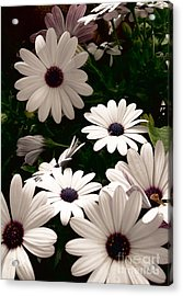 Acrylic Print featuring the photograph African Daisies by Debi Dmytryshyn