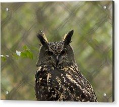 African Eagle Owl Acrylic Print