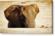 African Elephant Behind A Hill Acrylic Print