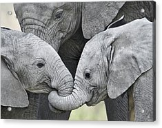African Elephant Calves Loxodonta Acrylic Print by Panoramic Images