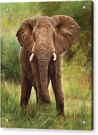 African Elephant Acrylic Print by David Stribbling