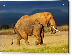 African Elephant Eating Grass Acrylic Print by Maggy Meyer