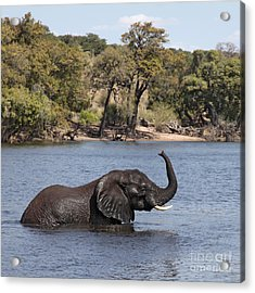 Acrylic Print featuring the photograph African Elephant In Chobe River  by Liz Leyden