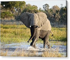 Acrylic Print featuring the photograph African Elephant Mock-charging by Liz Leyden