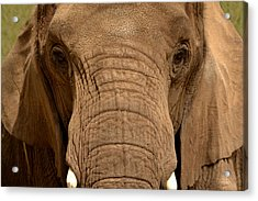 Acrylic Print featuring the photograph African Elephant by Nadalyn Larsen