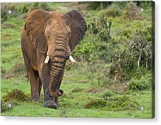 African Elephant Acrylic Print by Science Photo Library