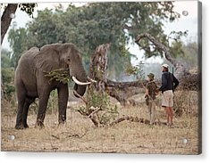 African Elephant With Tourist And Guide Acrylic Print