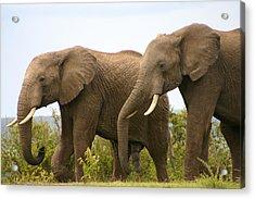 African Elephants Acrylic Print by Menachem Ganon