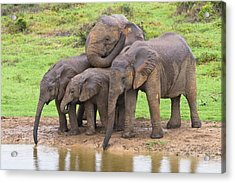 African Elephants Acrylic Print by Science Photo Library