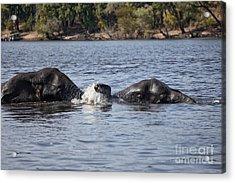 African Elephants Swimming In The Chobe River Botswana Acrylic Print