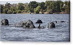 Acrylic Print featuring the photograph African Elephants Swimming In The Chobe River by Liz Leyden