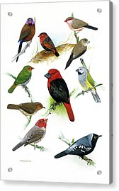 African Estrildid Finches Acrylic Print
