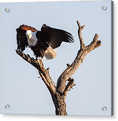 African Fish Eagle Acrylic Print by Craig Brown