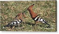 Acrylic Print featuring the photograph African Hoopoe Feeding Young by Liz Leyden
