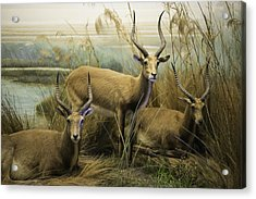 African Impalas Acrylic Print by Diego Re