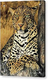 African Leopard Portrait Wildlife Rescue Acrylic Print