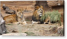 African Lion Couple 2 Acrylic Print