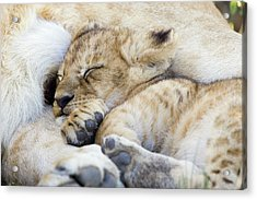 African Lion Cub Sleeping Acrylic Print by Suzi Eszterhas