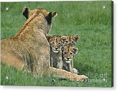 Acrylic Print featuring the photograph African Lion Cubs Study The Photographer Tanzania by Dave Welling