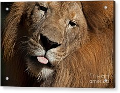 Acrylic Print featuring the photograph African Lion by Meg Rousher