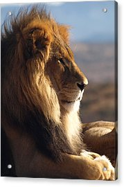African Lion Acrylic Print by James Peterson