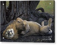 African Lion Panthera Leo Wild Kenya Acrylic Print by Dave Welling