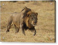African Lion Stalking Masai Mara Kenya Acrylic Print