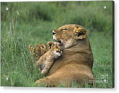 African Lions Mother And Cubs Tanzania Acrylic Print by Dave Welling