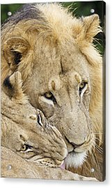 African Lions Acrylic Print by Science Photo Library