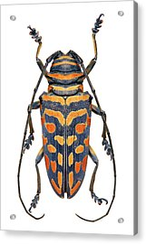 African Longhorn Beetle Acrylic Print by Natural History Museum, London