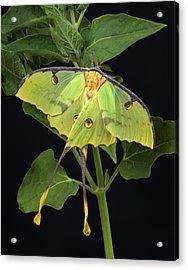 African Moon Moth Argema Mimosae Acrylic Print by Robert Jensen