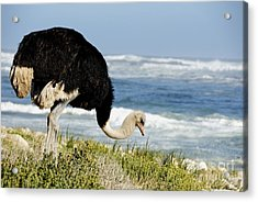 African Ostrich Foraging Next To Beach Acrylic Print by Sami Sarkis
