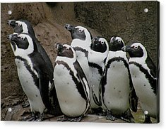 African Penguins Acrylic Print by Brian Chase