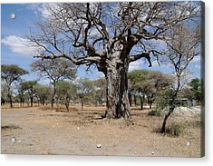 African Series 3000 Year Old Tree Acrylic Print by Katherine Green