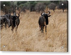 African Series Widerbeest Acrylic Print by Katherine Green