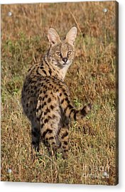African Serval Cat 1 Acrylic Print by Chris Scroggins