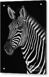 African Stallion Acrylic Print