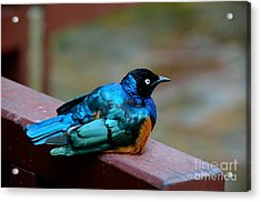 African Superb Starling Bird Rests On Wooden Beam Acrylic Print