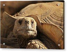 African Tortoise Acrylic Print