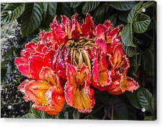 African Tulip Tree Flowers Acrylic Print by Photographic Art by Russel Ray Photos