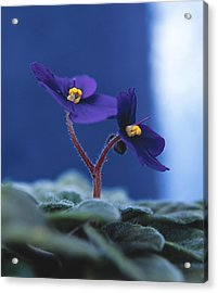 African Violet Acrylic Print