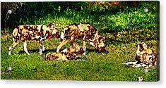 African Wild Dog Family Acrylic Print