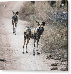 African Wild Dogs Acrylic Print by Craig Brown